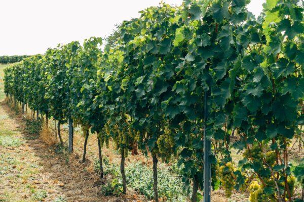 Wijnranken op een veld - Mereveld wijn