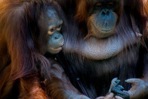 Orang Oetang die bij zijn moeder drinkt